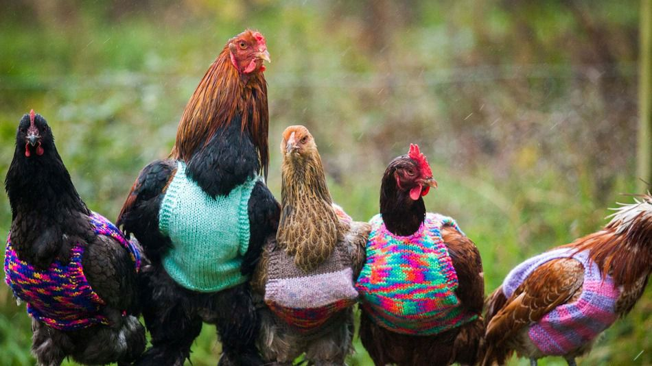 chicken in a sweater