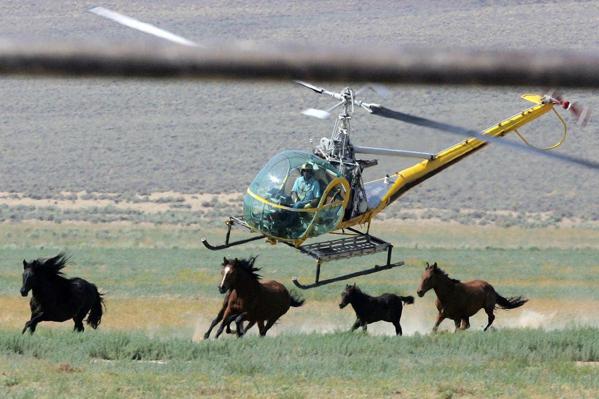 File-In this July 13,2008 file photo a livestock helicopter pilot rounds up wild horses from the Fox & Lake Herd Management Area from the range in Washoe County, Nev., near the town on Empire, Nev.