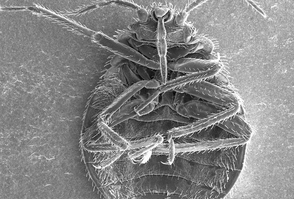 bed-bug-free-stock-photos-public-domain
