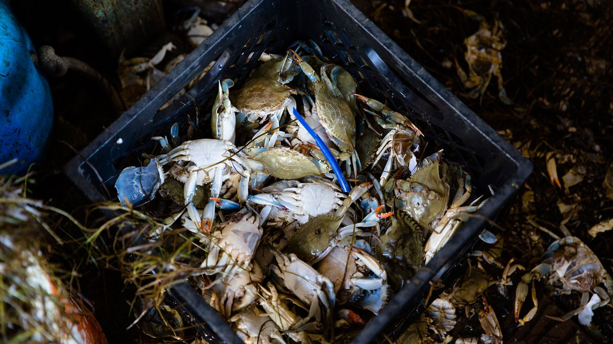 Why Maryland's Blue Crab Industry Might Be in Trouble - Eater