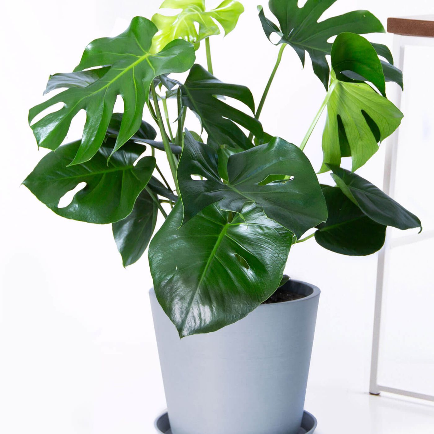 Best Houseplant For Beginners The Monstera Curbed