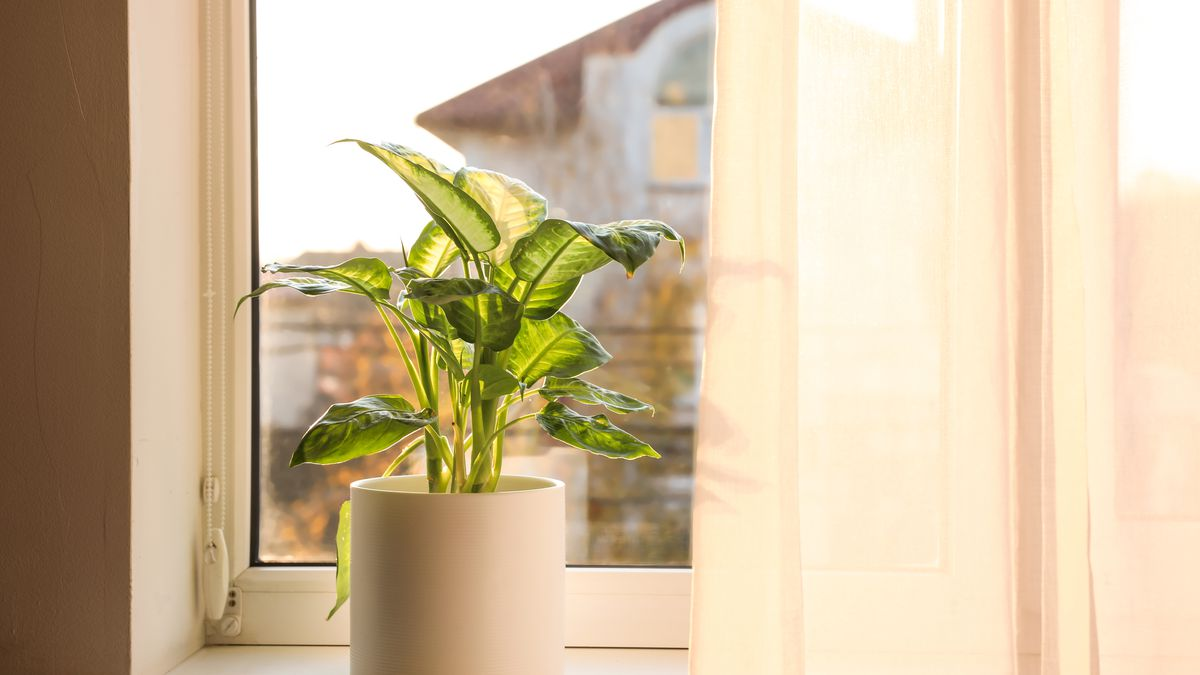 A houseplant is seen in the window of an apartment with a gauzy white curtain that overlooks a city.