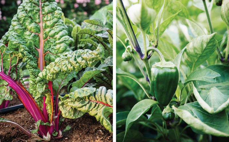 Summer 2021, Landscaping, vegetable and herb garden, Swiss chard, peppers