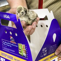 Whittney Young, pet and chicken department manager at the IFA Country Stores in Riverton, sells chicks to customers on Thursday, March 26, 2020. The agricultural sector is seeing a run on supplies including chicken feed, horse feed, dog food and a higher interest for chicks.