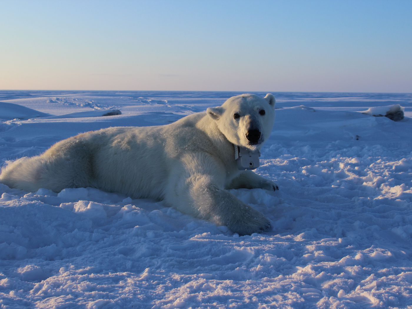Polar bears need lots of seal snacks — and a melting Arctic