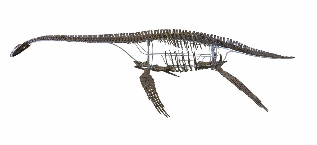 A cast of a skeleton of a plesiosaur, a reptile that lived in theoceansduring the time of the dinosaurs. This photo's credit is© The Trustees of the Natural History Museum, London.