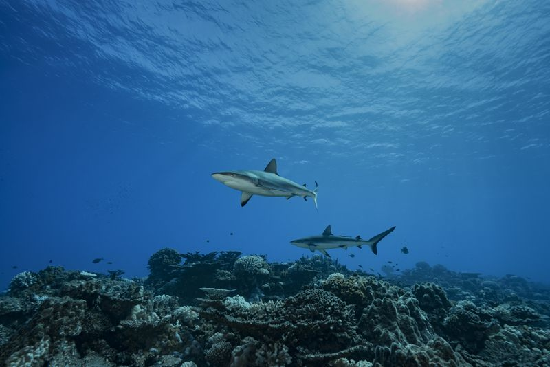 Two gray reef sharks swim over a coral reef.