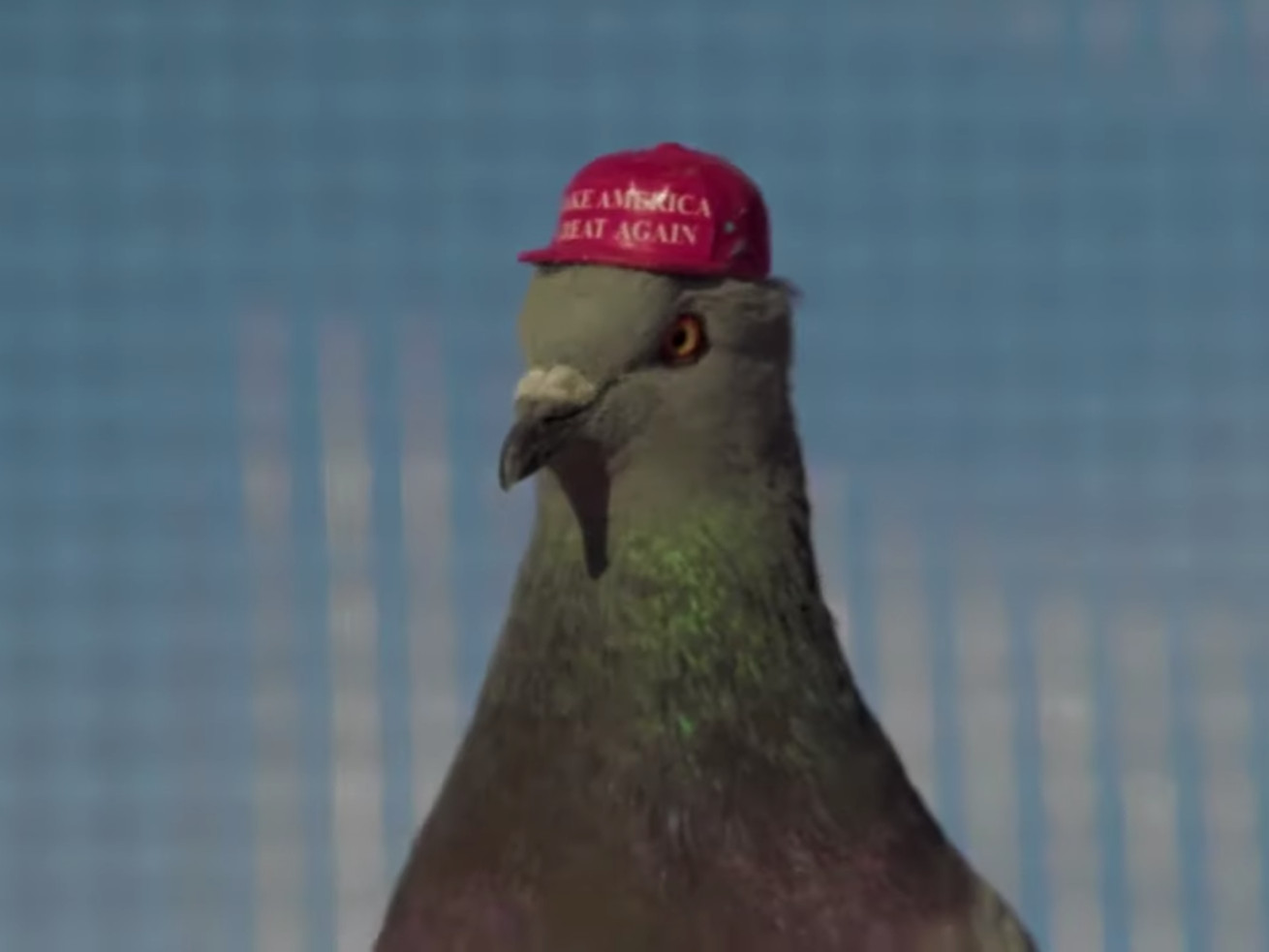 Make America Beak Again: A rogue political group is putting tiny MAGA hats on pigeons