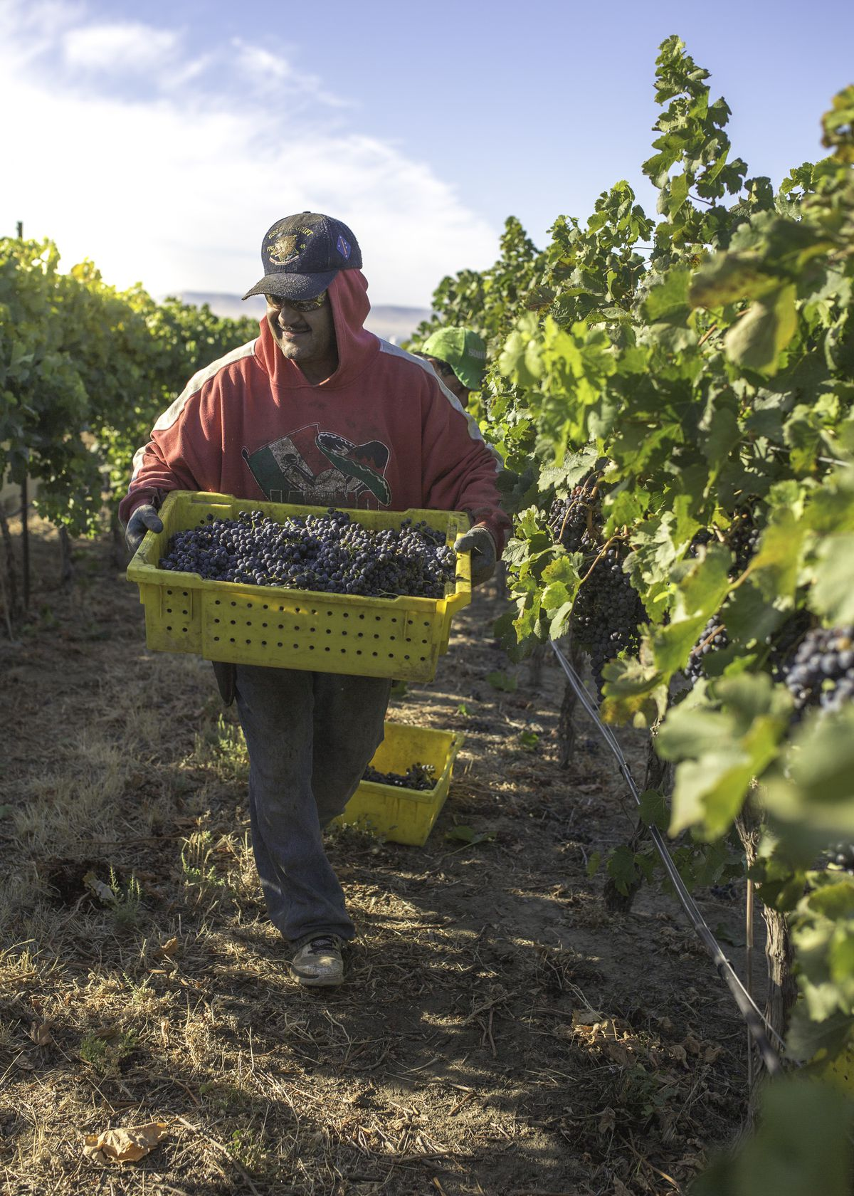 A man carries a tray of grapes in the field.