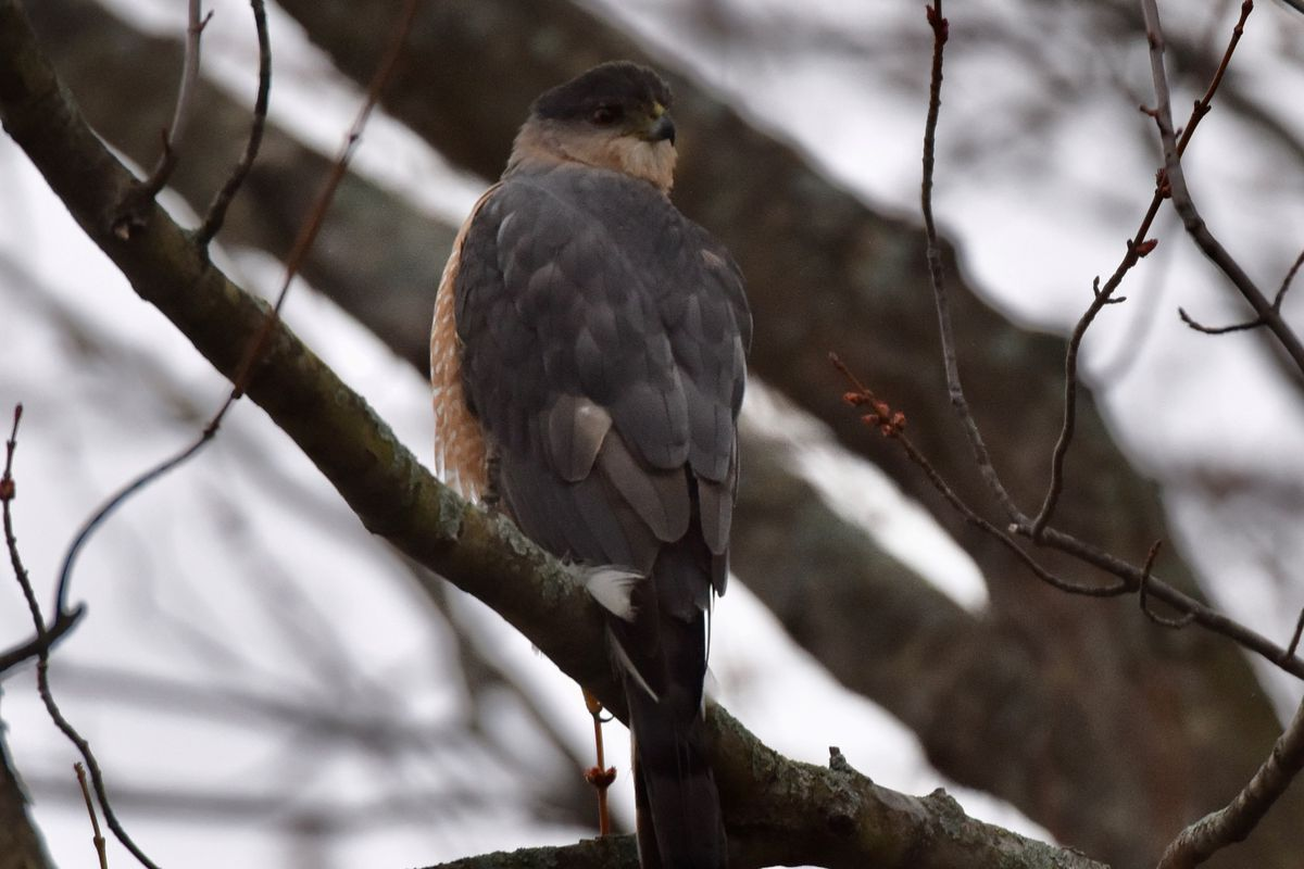 """James """"Gomie"""" Gomez photographed this Cooper's hawk. Provided"""