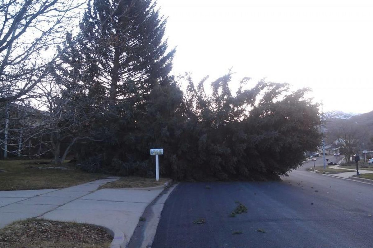 A fallen tree after the Northern Utah windstorms.