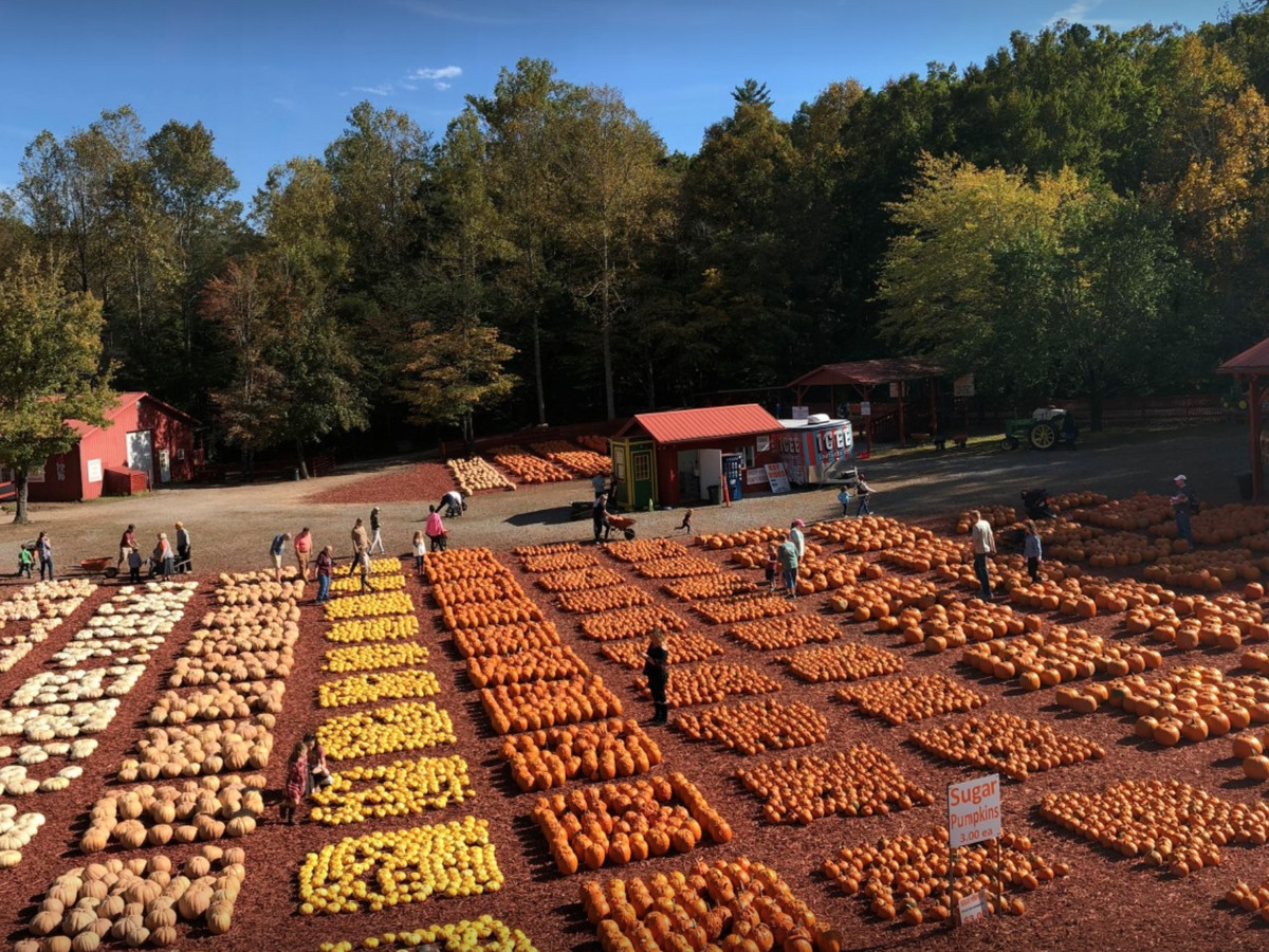 A field with groups of pumpkins on display for sale.