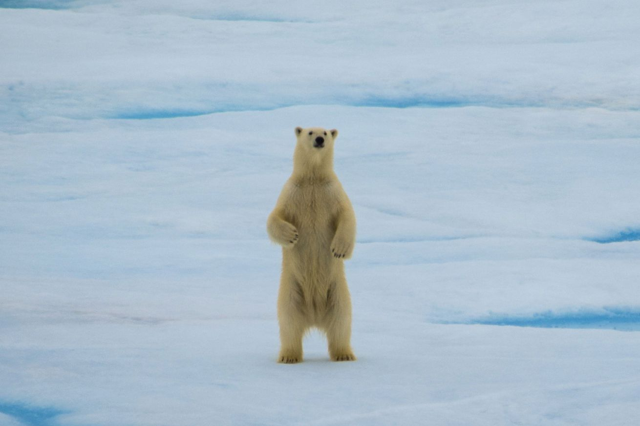 <em>A polar bear staring at the US Coast Guard Cutter Healy.</em>