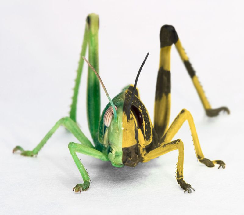 Photomontage of a solitarious (left) and gregarious (right) last instardesert locust, Schistocerca gregaria.