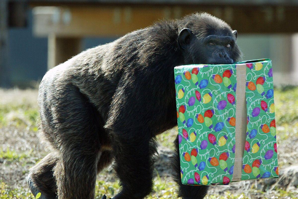Santa Monkeys Around With The Chimps