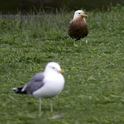 A clean seagull and an oil-soaked gull stand on the grass in Liberty Park on Saturday.