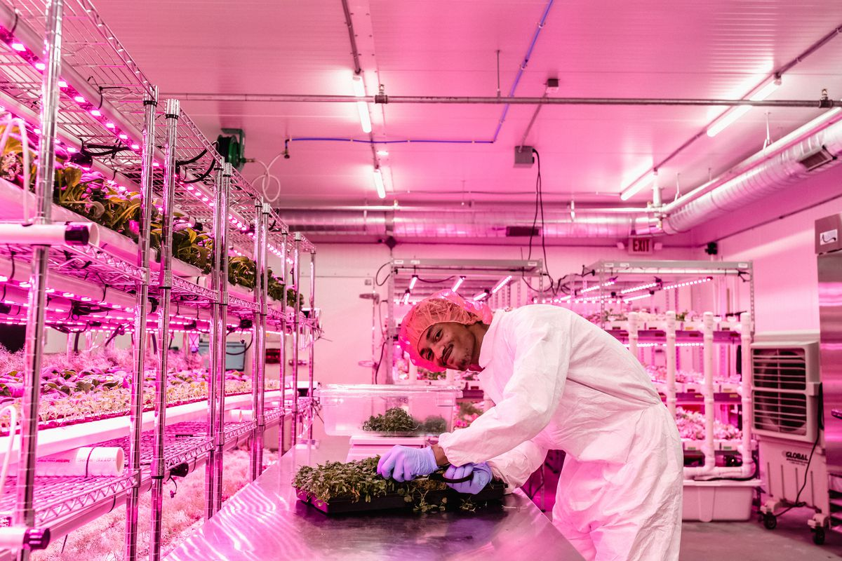 An employee named Daniel wears a full gown, gloves, and hairnet in the grow room with pink lights. He leans over a table of microgreens and smiles at the camera.