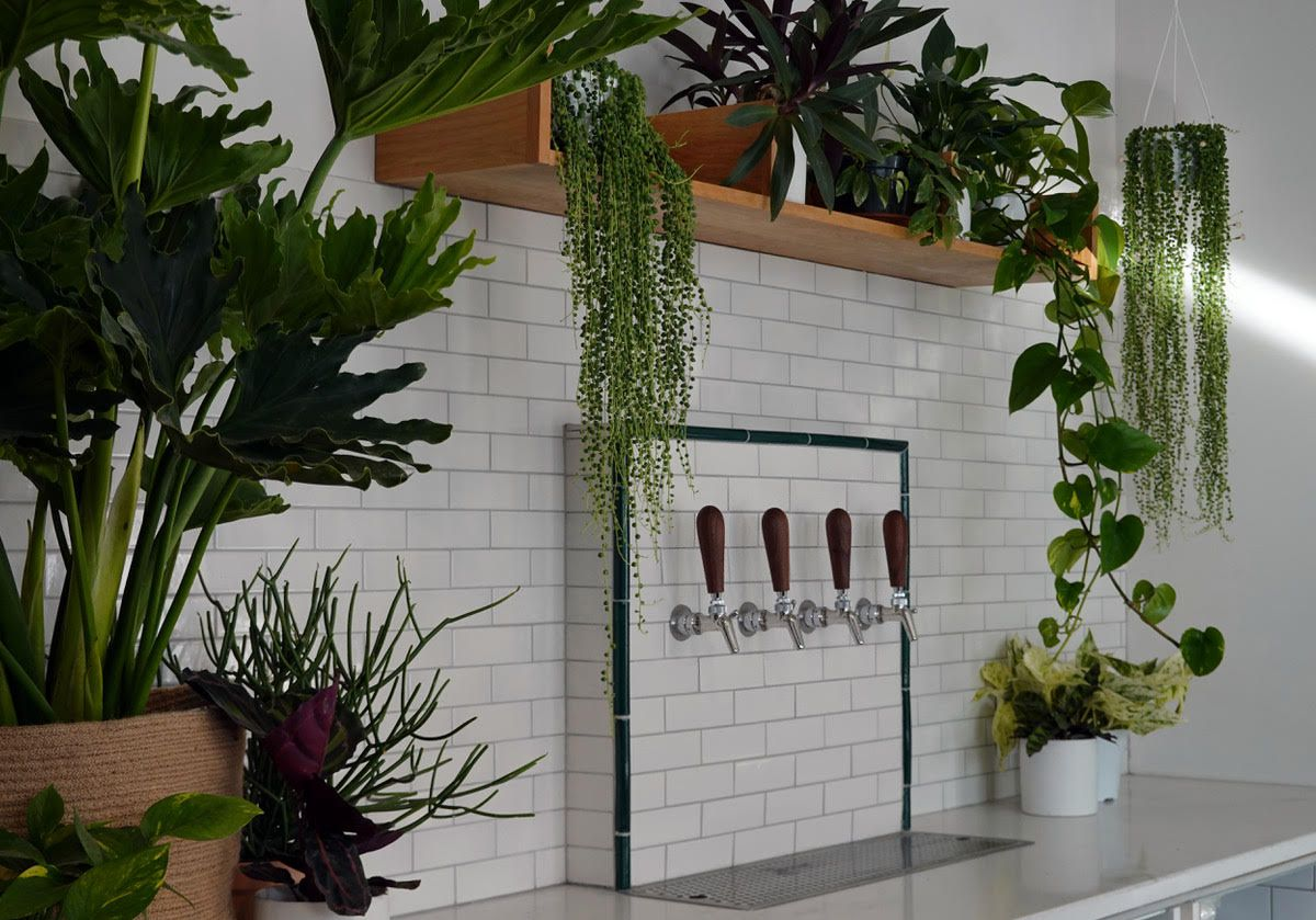 Four taps of beer jut out from a white exposed brick wall. Above and to their left, green houseplants hang.