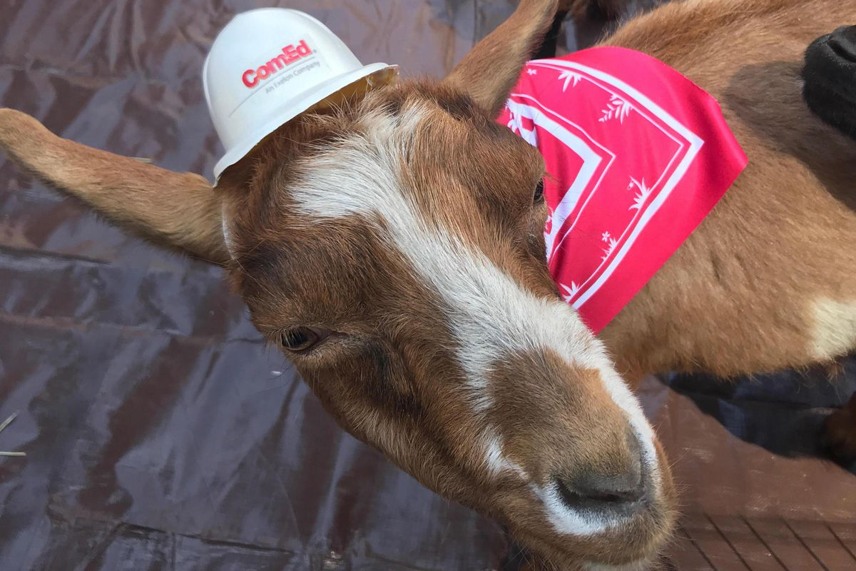 A brown and white goat looks up at the camera. The animal has a tiny white hard hat that says ComEd and a red and white bandana around its neck.