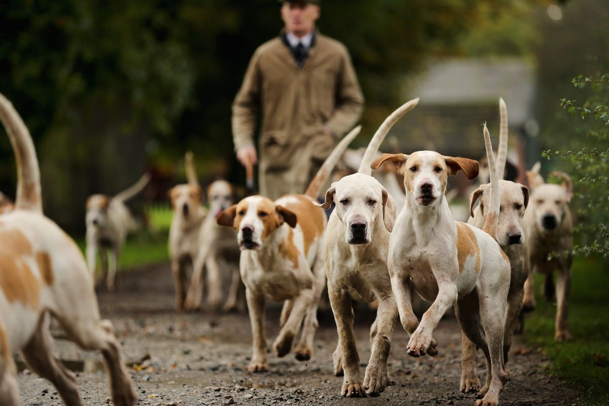 Kennels Prepare Their Dogs For The Start Of The Fox Hunting Season