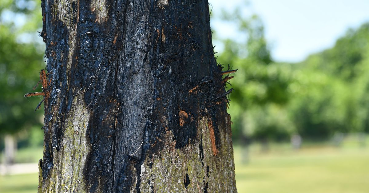 'A tree is worth more than gold,' says man ticketed for spraying Naperville tree to protect it