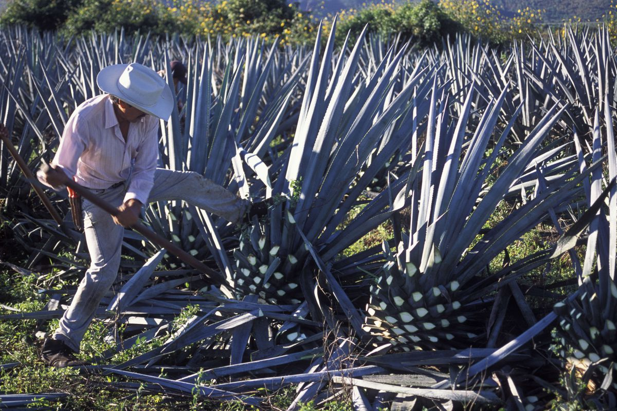 A man in a field harvesting blue agave pine cones for tequila