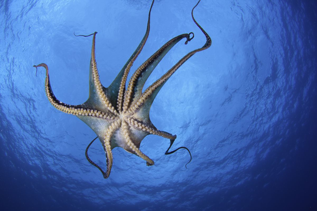 An octopus with its arms spread out seen from underneath with the surface of the water overhead.