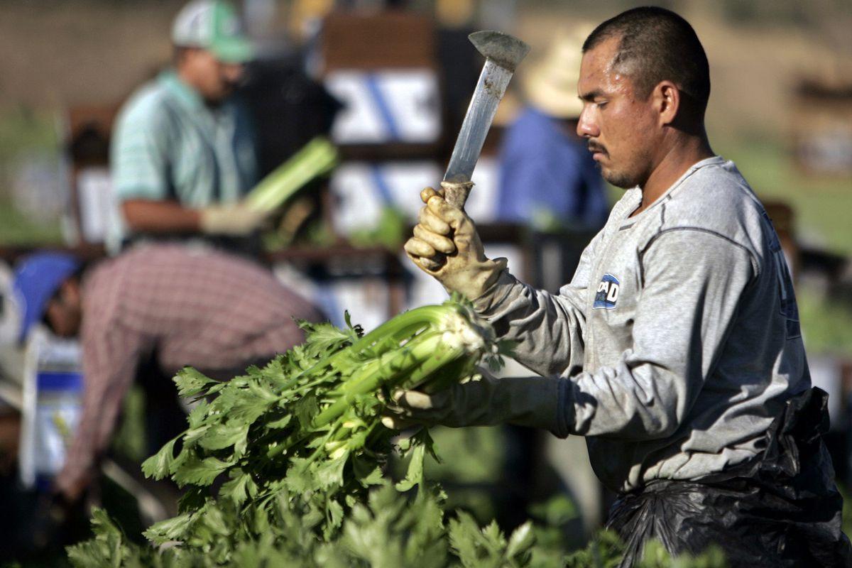 Migrant farm workers harvest celery on a farm near Fillmore, California.