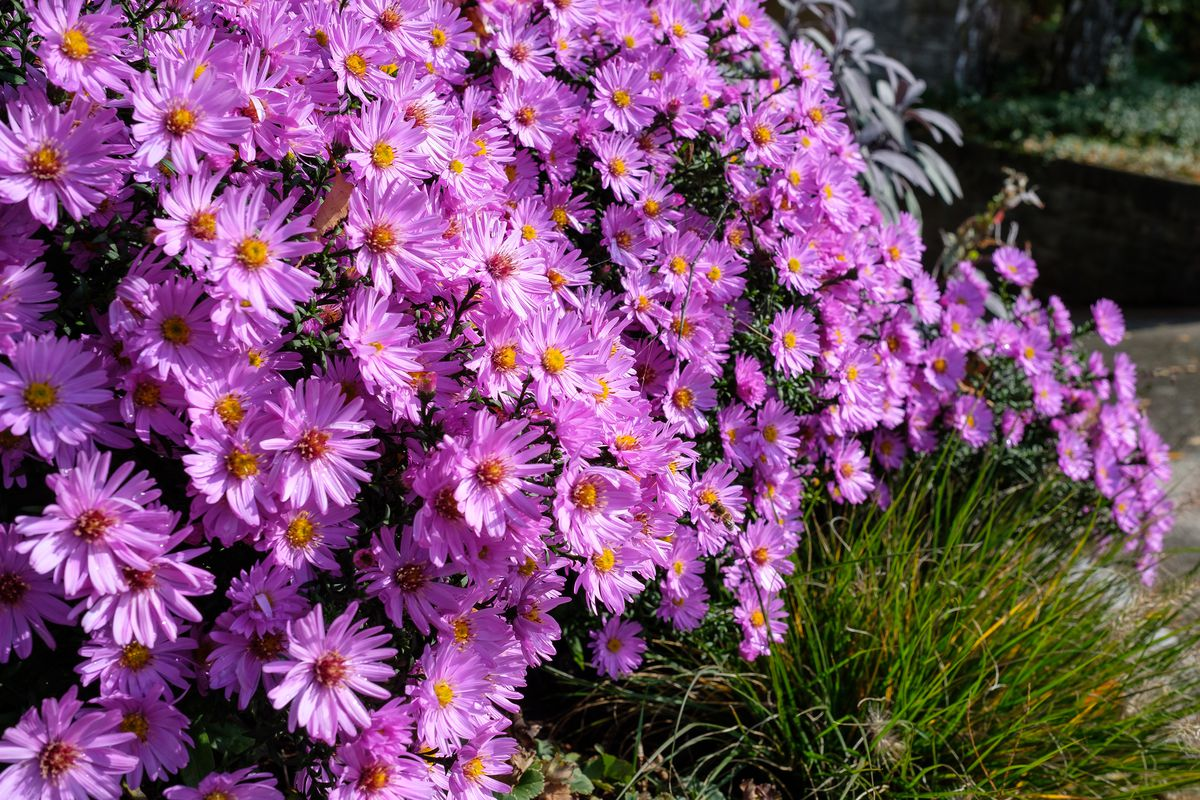 Close up purple flowers of asters.