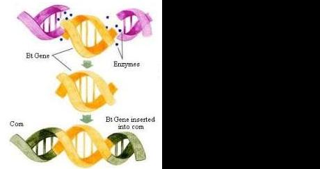 BT corn diagram