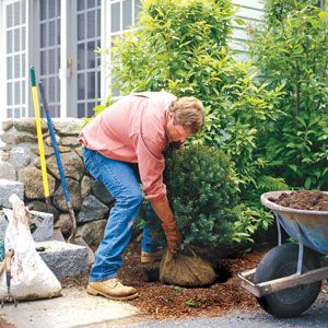 <p>Before planting a shrub, make sure the hole is at least twice the diameter of the root ball and not quite as deep.</p>