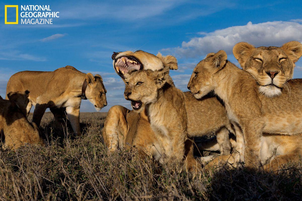 lions - photo #36