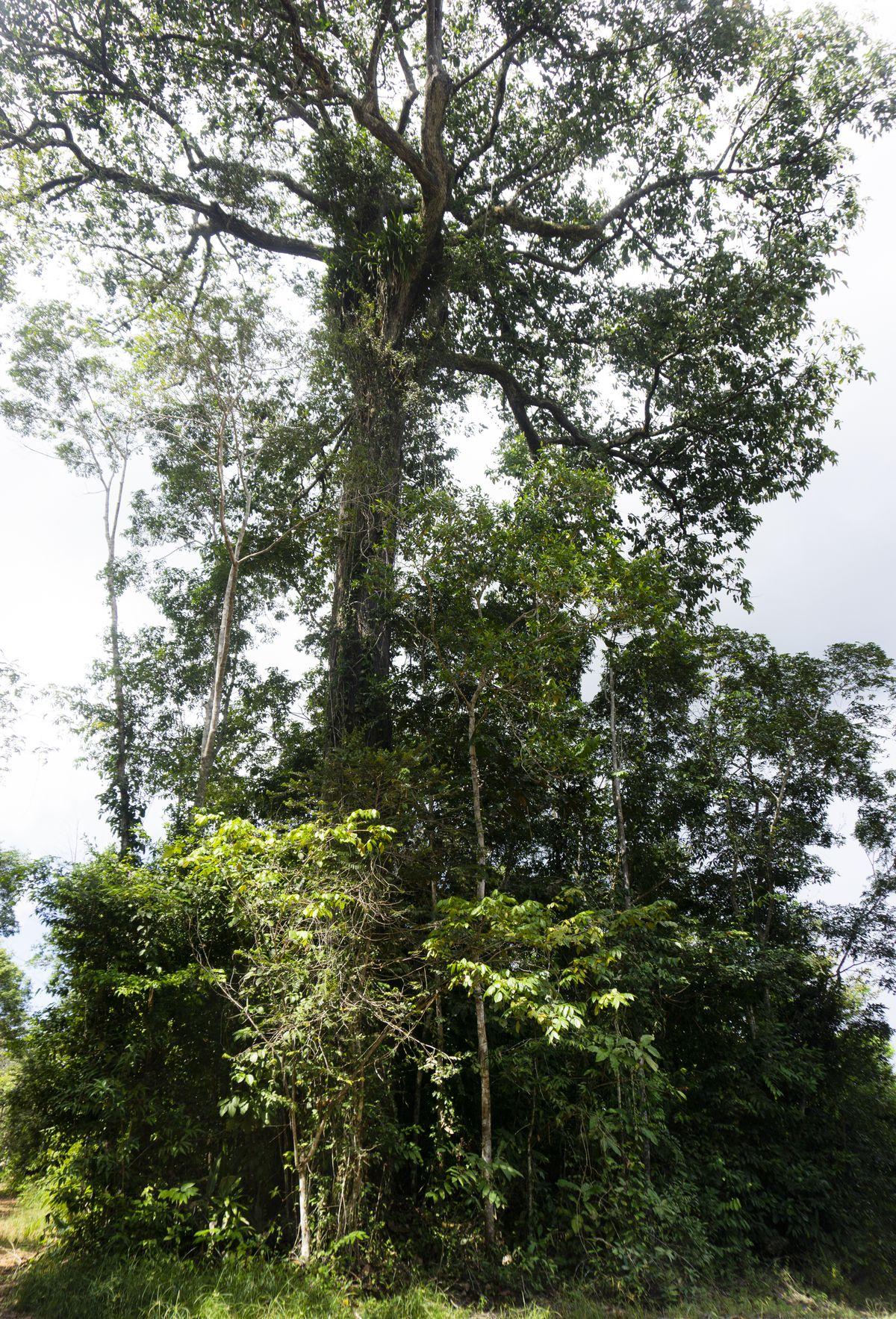 A Brazil nut tree, Bertholletia excelsa, in the Amazon rainforest.
