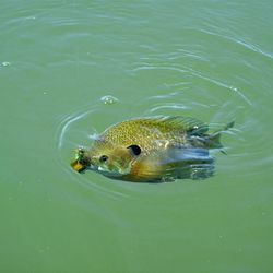 A hooked bluegill surfaces before it is pulled from the waters of Pelican Lake and released.