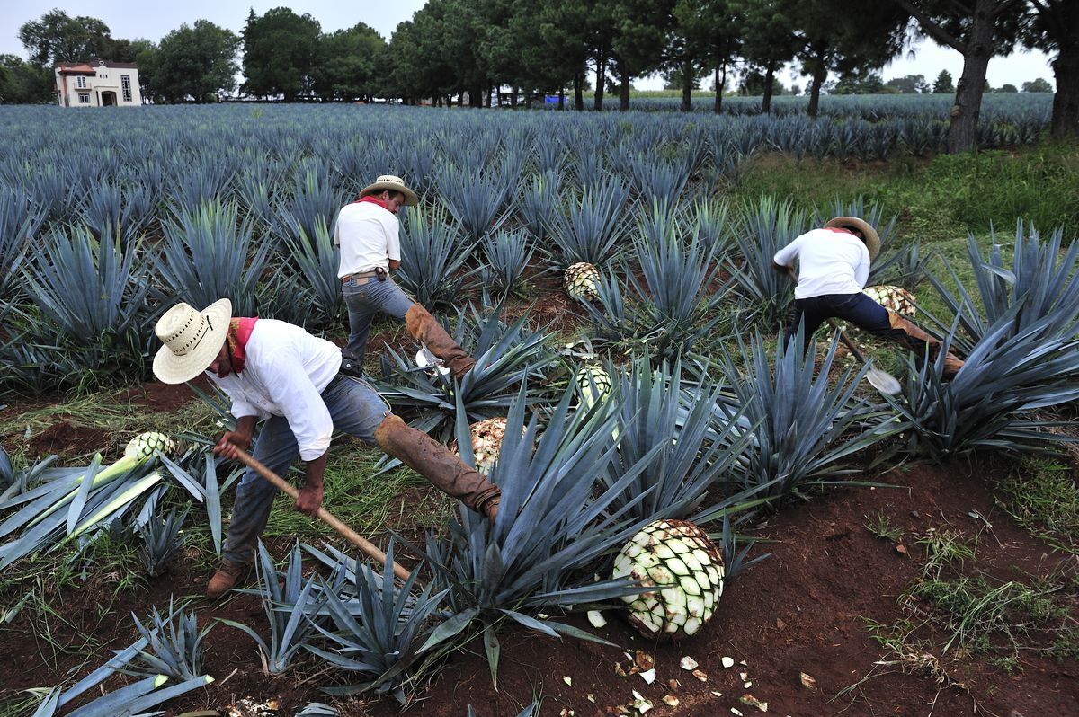 Farmers harvesting blue agave for Tequila production in Jalisco, Mexico