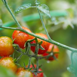 There's no shortage of tomatoes in the garden.