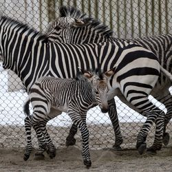 A 2-week-old Hartmann's mountain zebra stands with his mother, Ziva, in the African Savanna exhibit at Utah's Hogle Zoo in Salt Lake City on Thursday, Jan. 28, 2021. The male zebra was born Friday, Jan. 15, and with the help of his mother, who cleaned and coaxed him, he was standing on his own within 30 minutes and awkwardly walking shortly thereafter.The zoo is encouraging the community to help name him by going to the zoo's Facebook page.