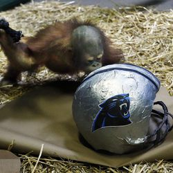 Tuah, an orangutan at Salt Lake City's Hogle Zoo, kisses a Panthers helmet in his enclosure on Thursday, Feb. 4, 2016, signifying his pick to win Super Bowl 50. For the past eight years, an animal at Hogle Zoo has correctly predicted the winner of the Super Bowl. This year's game, between Carolina and Denver, will be played Sunday at Levi's Stadium in Santa Clara, California.