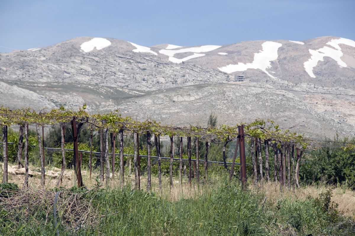 A vineyard sits in front of a mountainous backdrop in Lebanon's Bekaa Valley