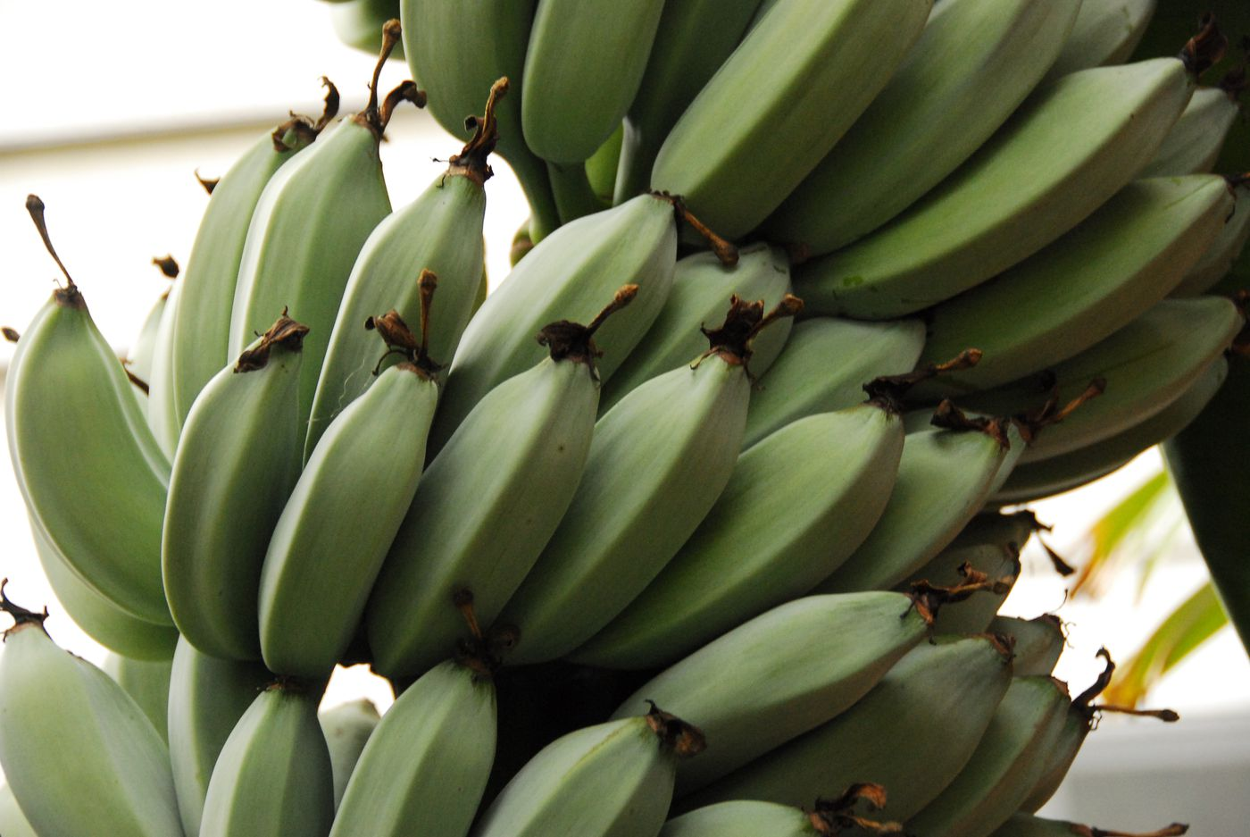 The improbable rise of the banana, America's most popular fruit - Vox