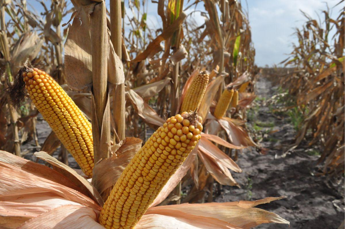 Genuity DroughtGard corn