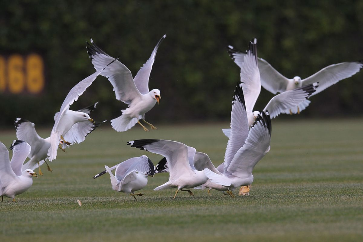 No Cubs photo from the last game was really worth posting, so have a look at gulls fighting over food in the outfield at Wrigley Field in Chicago, Illinois. The Cardinals defeated the Cubs 5-1. (Photo by Jonathan Daniel/Getty Images)