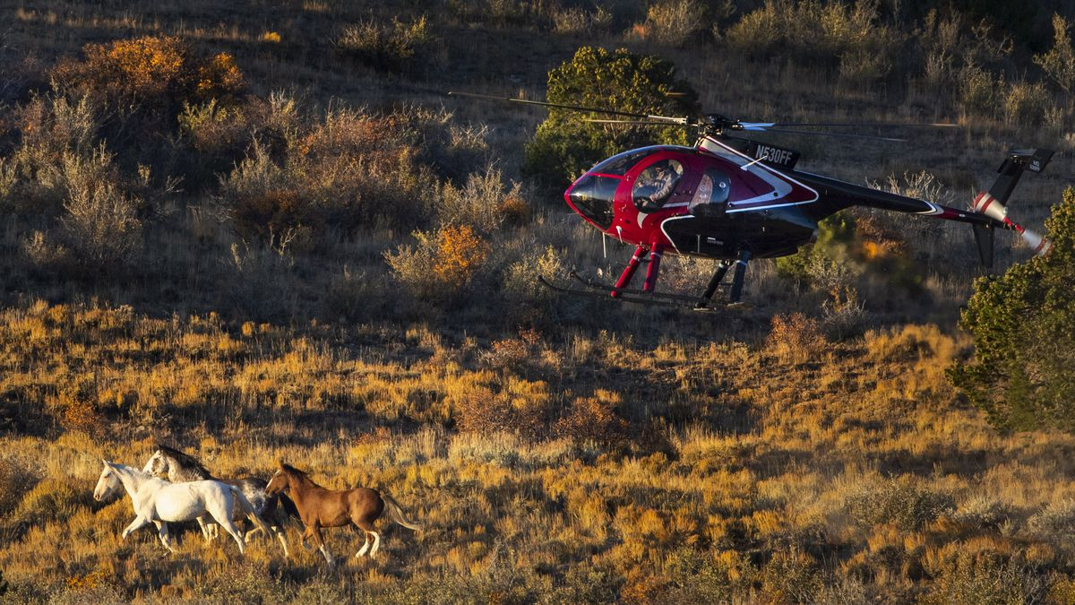 A helicopter pushes wild horses into a trap during the Bureau of Land Management's Range Creek Rangehorses near Wellington, Carbon County, on Tuesday, Oct. 1, 2019.