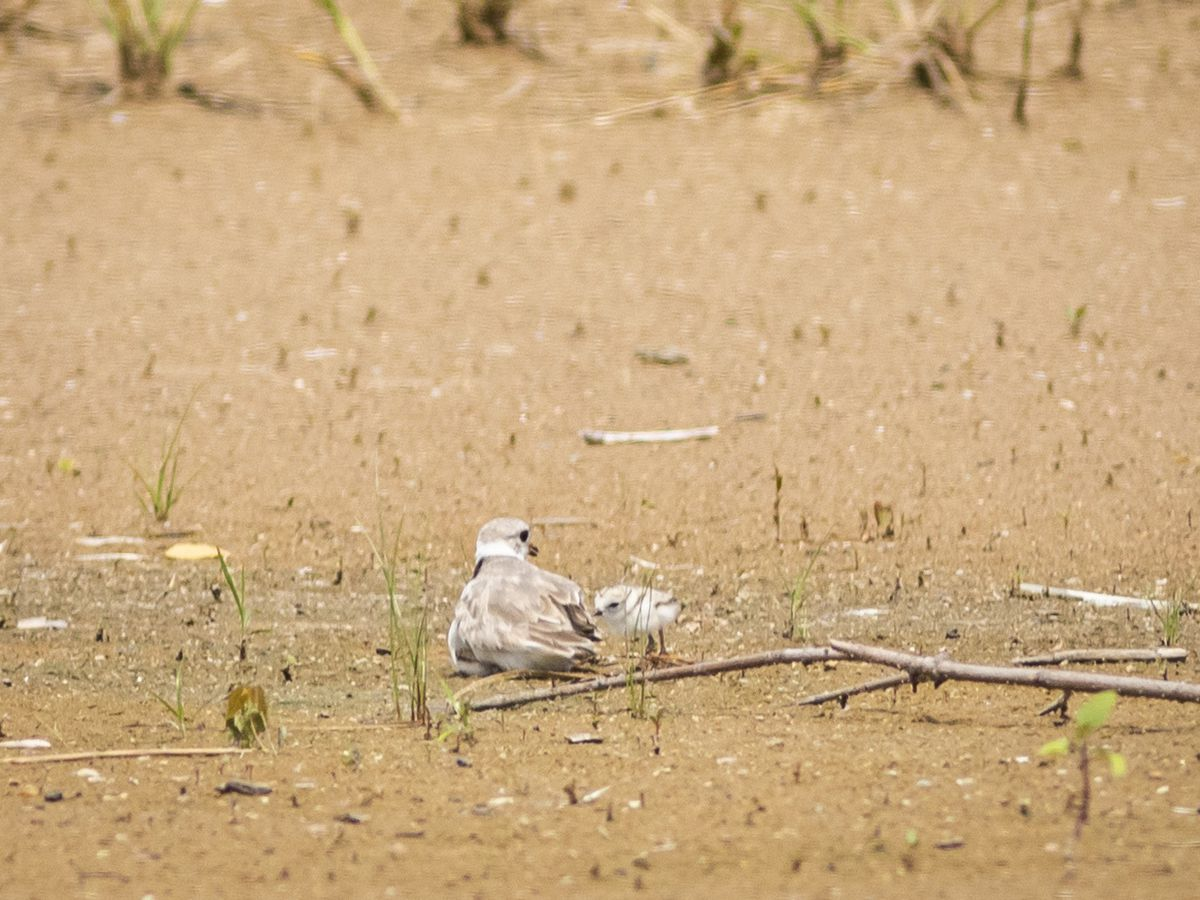 Three newly-hatched piping plover chicks hide in the shade under their mother, nicknamed Rose, on Montrose Beach, Friday afternoon, July 19, 2019.