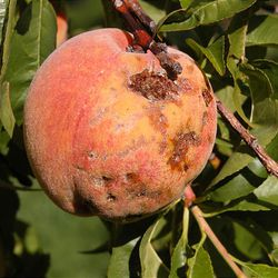 Coryneum blight is a fungal disease that develops in stone fruits like peaches. A wet June enhanced the problem.