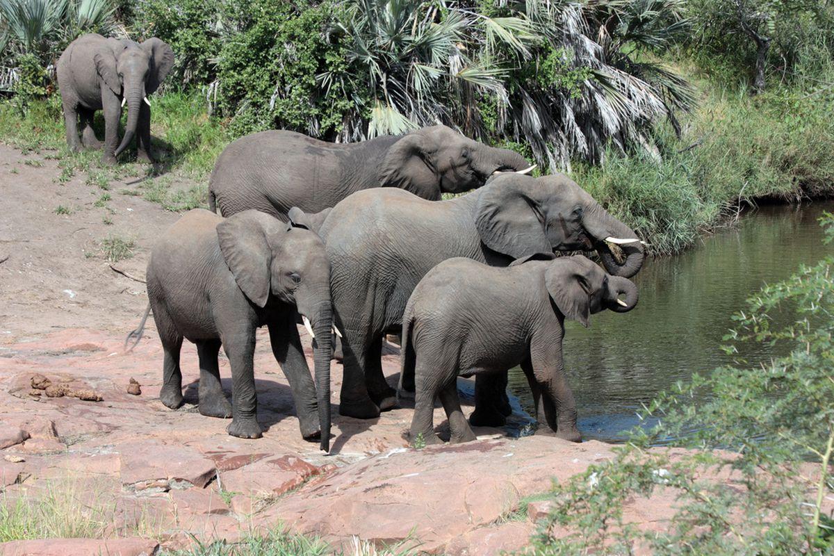 African Elephant herd at water hole, Kruger National Park