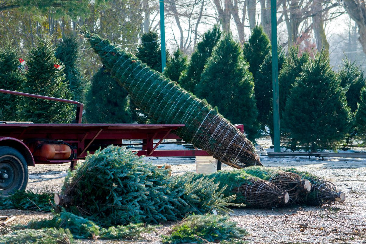 A Christmas tree, freshly cut, being prepared for transport to someone's home with netting.