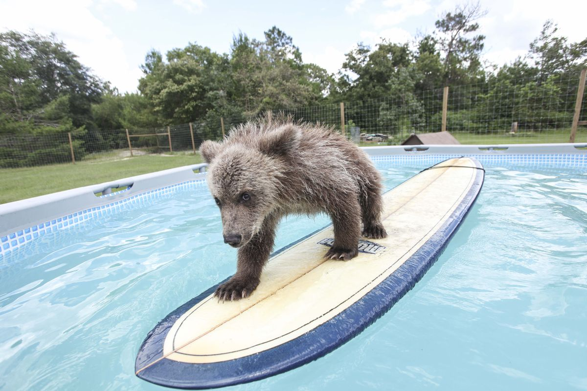 Baby Bear Given Surfing Lesson By Conservationist Carl Bovard