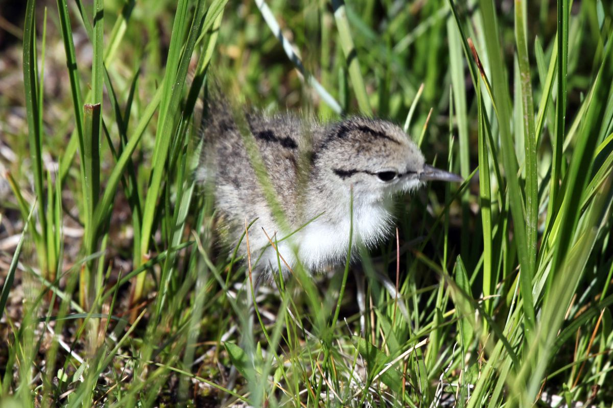 Spotted sandpipers are among the newly hatched birds people might find on the ground in the spring.
