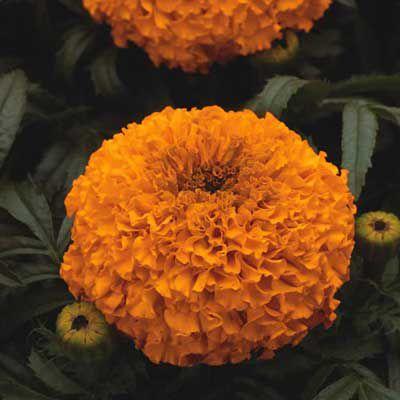 Marigolds (Tagetes)